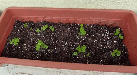 come curare il basilico in vaso basilico ocimum basilicum lamiaceae come curare e