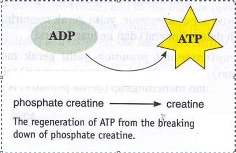 creatine phosphate functions in the cell by energy for contraction new science biology