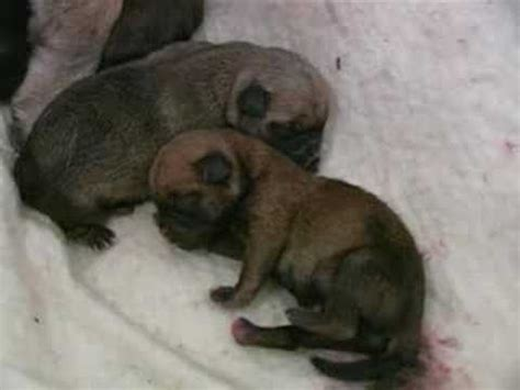 pug giving birth wicket gives birth to 7 pug babies