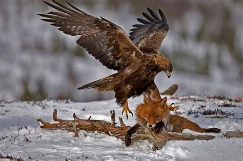 golden eagle a fox wolves and eagles