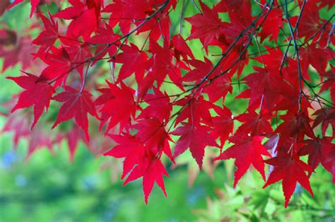 imagenes de otoño en japon momiji cuando las hojas se ti 241 en de rojo