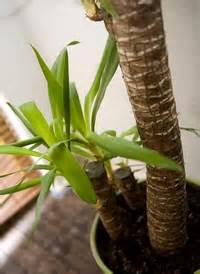 yucca tous les conseils d entretien