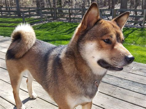 cheap shiba inu puppies for sale puppies and dogs for sale autos post