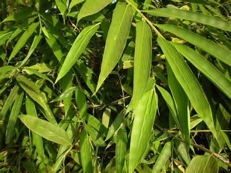 bamboo cay c 226 y tre c 226 y cảnh hoa cảnh bonsai h 242 n non bộ s 226 n vườn tiểu cảnh c 226 y cảnh vn
