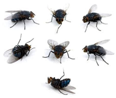 Cluster Flies In Kitchen by Fly Pest Fly Treatment