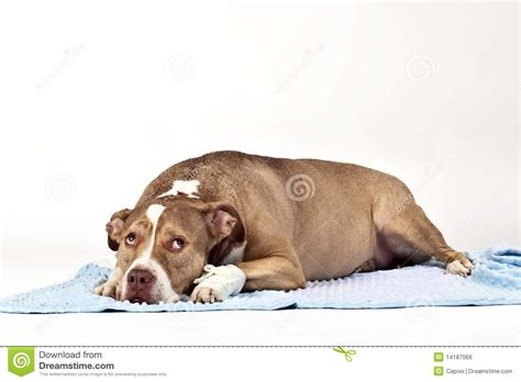 hurt dogs hurt royalty free stock image image 14187066