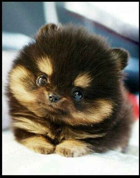 pomeranian brown adorable brown teacup pomeranian animals
