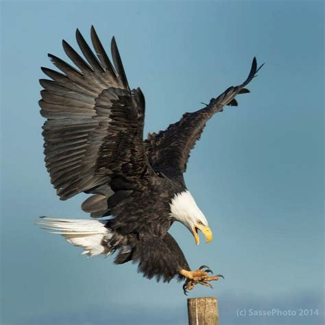 Foot Detox Eagles Landing by Determined Landing Bald Eagle By Sasse Photography