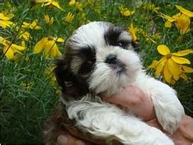 shih tzu puppies for sale in boston ma country home shih tzu puppies puppies for sale teacups puppies