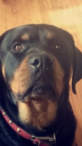 rottweiler stud wanted not for sale stud wanted for my rottweiler purley surrey pets4homes