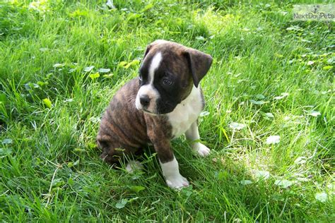 boxer puppies for sale in arkansas boxer puppies for sale in arkansas seotoolnet