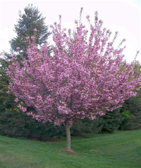 9 cherry tree royal burgundy japanese flowering cherry