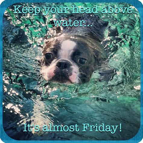 Almost Friday Meme - boston terrier meme quot it s almost friday quot