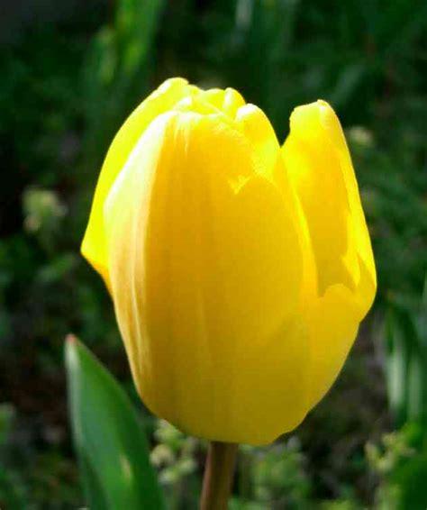 tentang  koleksi bunga tulip gambar hidup