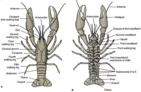 diagram of crayfish science rrhs bio diagrams