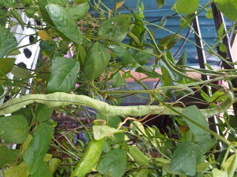 Pupuk Utk Bunga Kertas tanaman hidoponik esemka pertanian