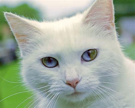 gatti con occhi diversi eterocromia animali bellissimi con occhi di colore