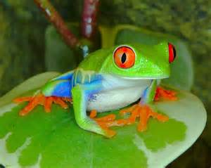 colorful frog colorful frogs colorful frog crocs serpents