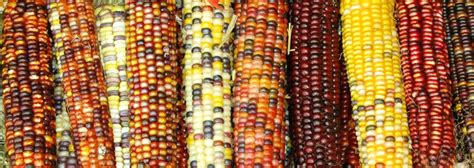 colors of corn 301 moved permanently