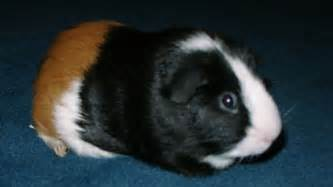 Names for guinea pigs you want a unique name that makes your guinea