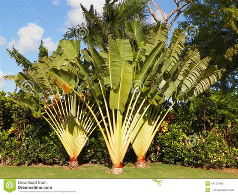 planting fan palm trees tropical plants trees foliage stock image image of green