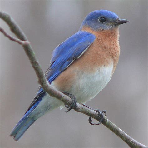 eastern bluebirds a story of successful conservation