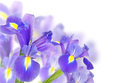 purple irises background gallery yopriceville high