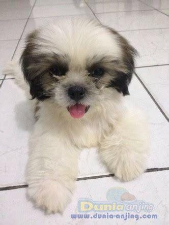 Jual Kandang Pagar Anjing Surabaya dunia anjing jual anjing shih tzu di jual mini shih