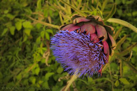 carciofo fiore fiore di carciofo juzaphoto