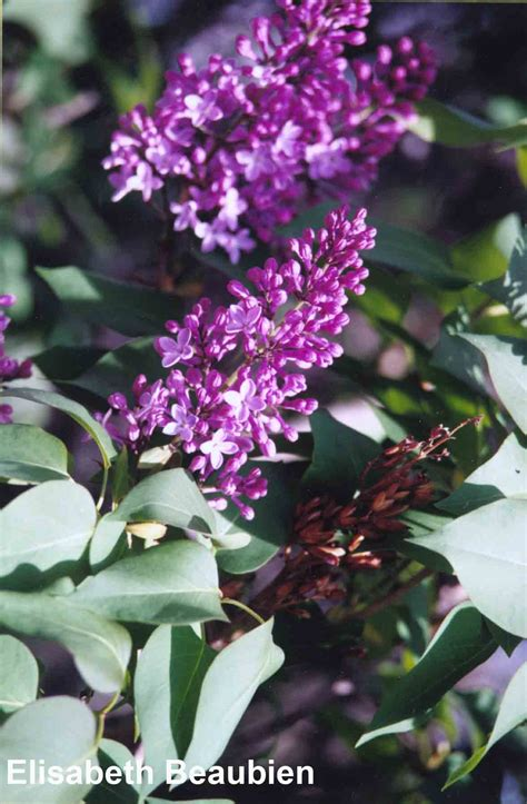 purple lilac common purple lilac