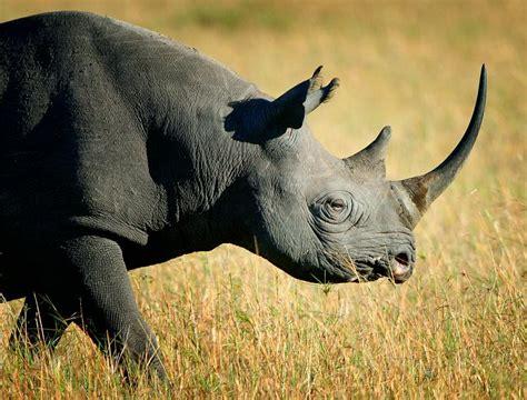 black rhino is the western black rhino extinct snopes com