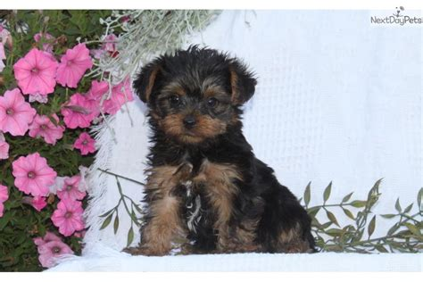 yorkies for sale in lancaster pa dogs and puppies for sale and adoption oodle marketplace