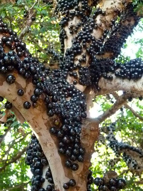 jabuticaba fruit tree jabuticaba the tree that fruits on its trunk kuriositas