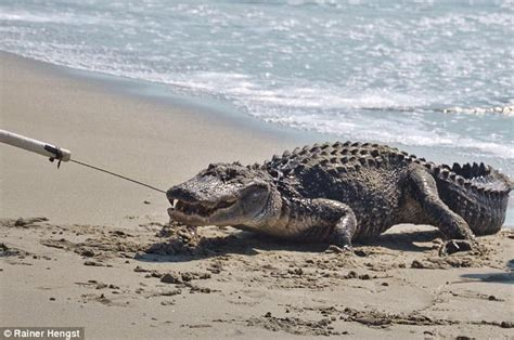 crystal river boat rs alligator lassoed in on south carolina beach after