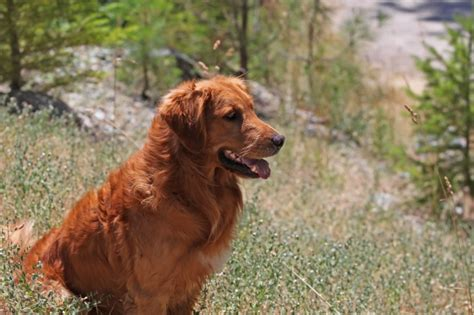 haired golden retriever golden retriever history history