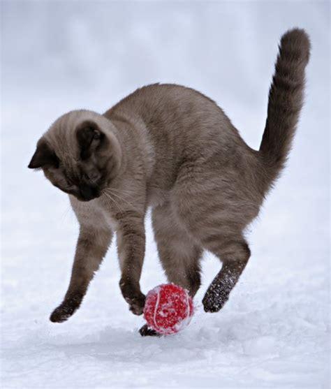 gatto siamese alimentazione gatto siamese carattere educazione e aspetto tuttogreen