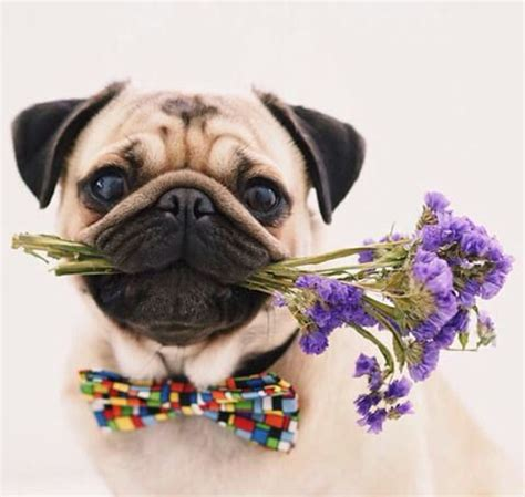 talking pugs 3536 best images about pugs adorable fur babies on