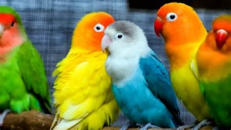 periquitos australianos canal mascotas colorful animals talk and chats all about