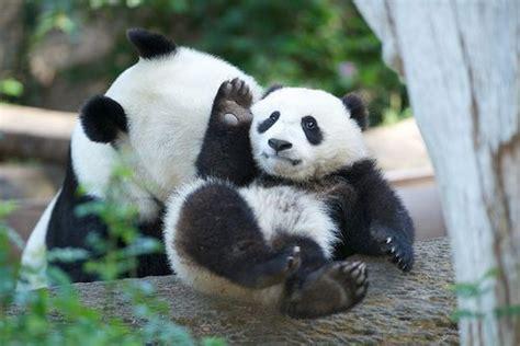 imagenes de osos fuertes 110 best images about imagenes de osos panda on pinterest