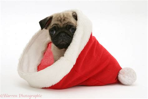 pug with hat pug pup in santa hat photo wp11656