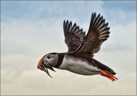 puffins flying images
