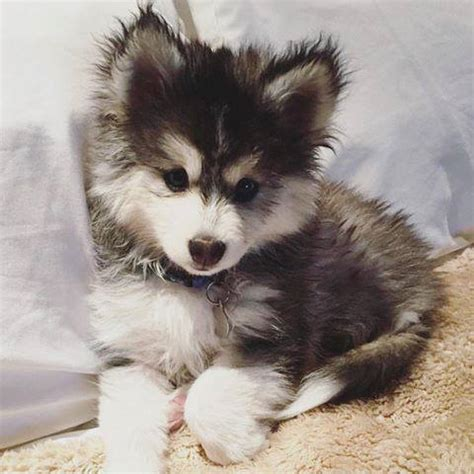 mini pomsky puppies for sale pomsky for sale pricing factors don t get ripped