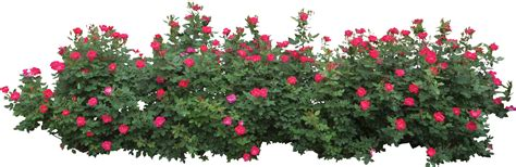 hedges clipart flower bush pencil and in color hedges clipart flower bush
