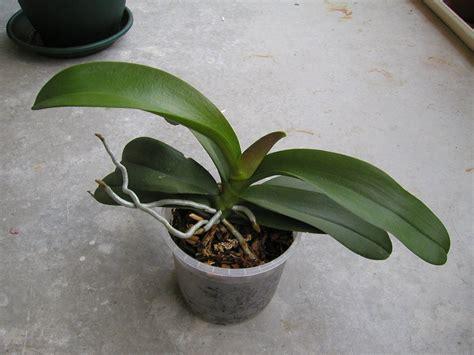 couper en deux votre phalaenopsis