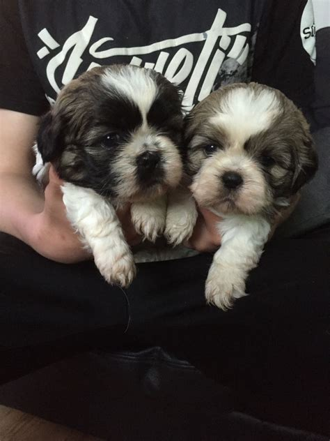 shih tzu puppies for sale in manchester shih tzu puppies for sale bolton greater manchester pets4homes