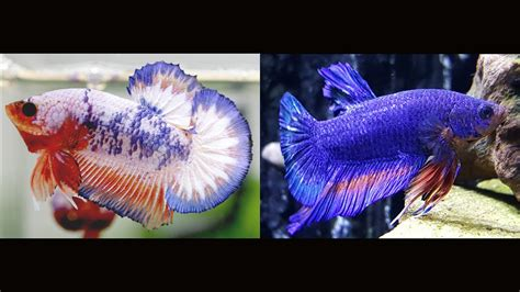 betta fish changing color betta changed colors and new plants