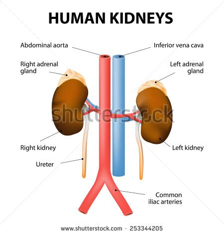 adrenal gland diagram aorta stock photos royalty free images vectors