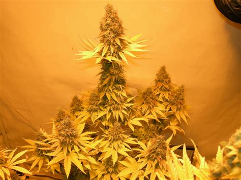 strain gallery critical royal queen seeds pic