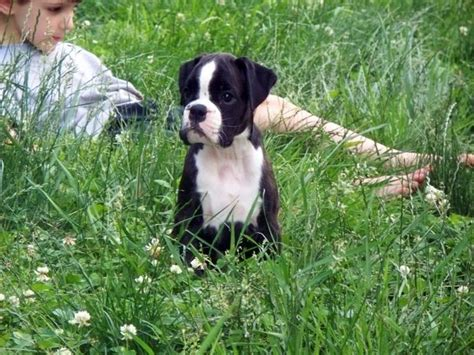 german boxer puppies boxer dogs german line awesome dogs