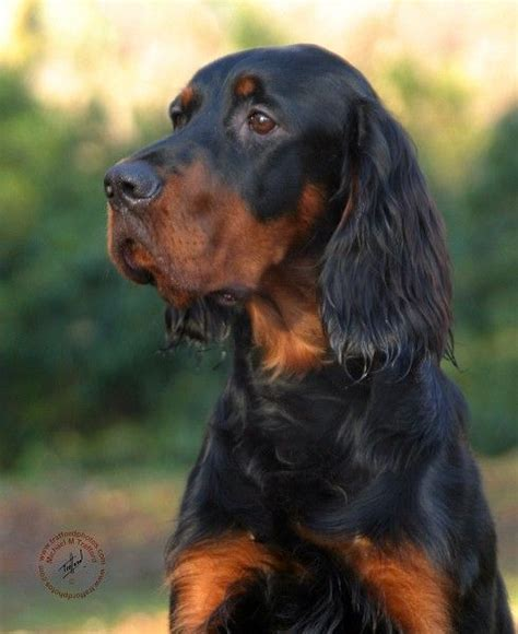 english setter girl dog names gordon setter a collection of animals and pets ideas to